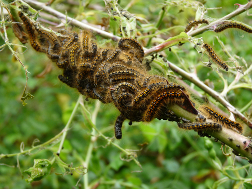 Northern tent caterpillars