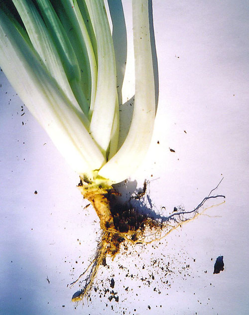 Cabbage root maggot damage