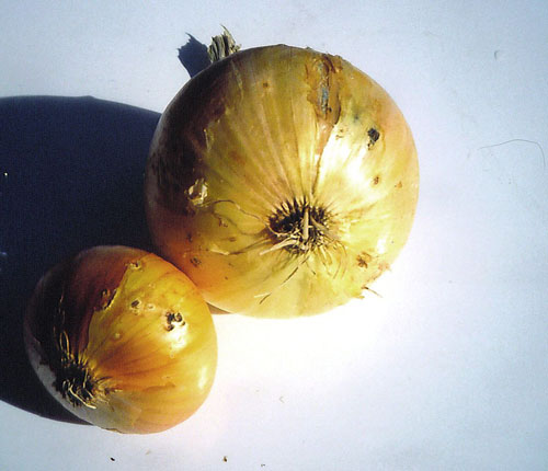 wireworm damage on onion