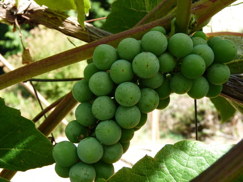 Thrips damage on grapes