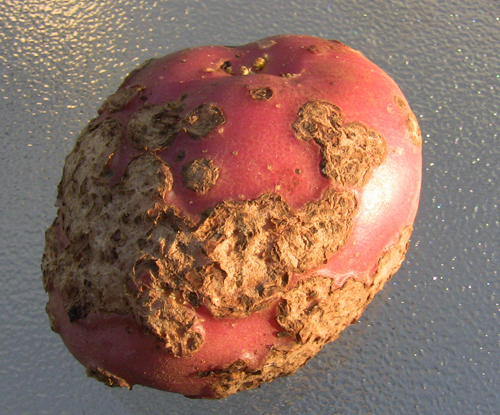 Tuber flea damage on potato